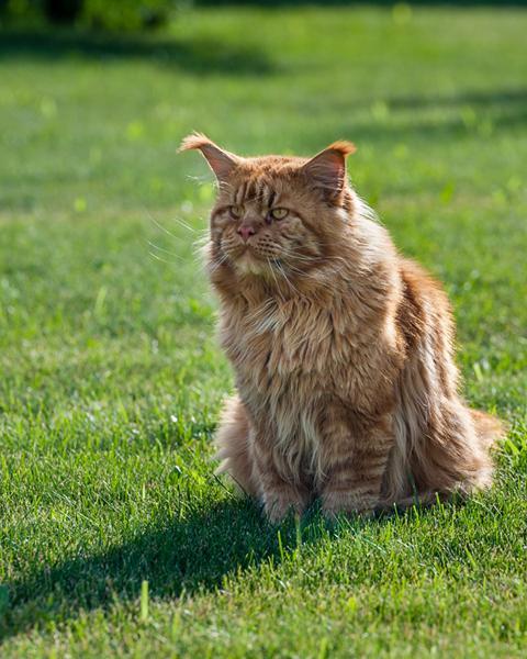 Кот мейн-кун Юпитер