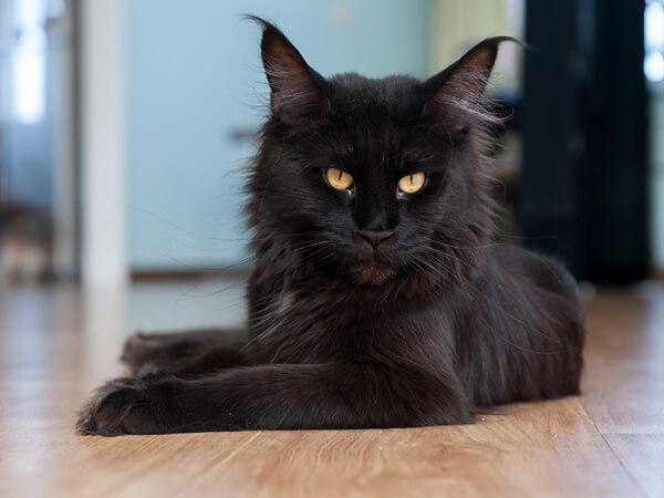Кошка мейн-кун питомника Bright Image Ночка (Dominanta Dobrinya)