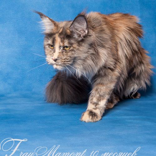 Кошка мей-кун Фрау Мамонт, Frau Mamont Bright Image, Питомник мейн-кунов Bright Image